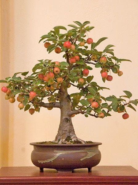 ябълка бонзай