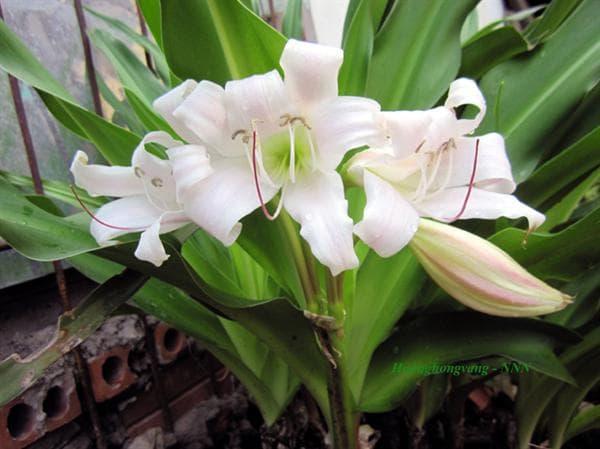 дива лилия листа и цветове