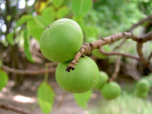 плод на манчинелово дърво
