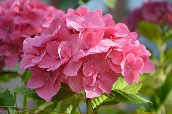 Розова хортензия