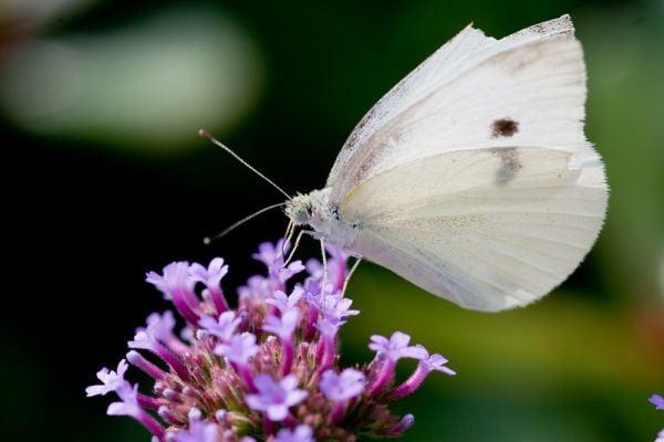 Бяла пеперуда