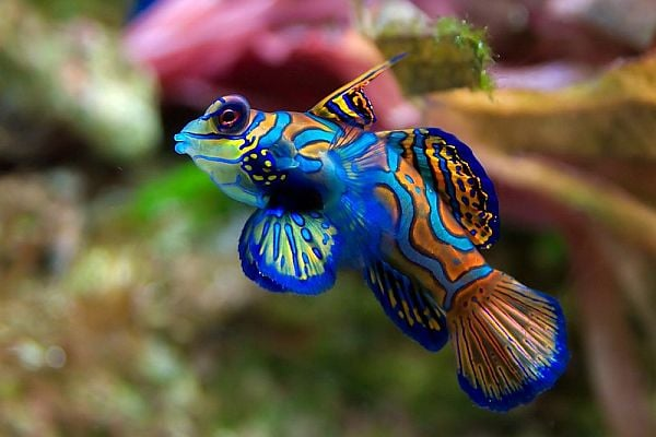 Риба мандарин - едно от най-красивите морски създания