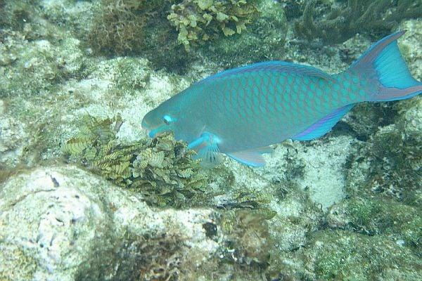 Риба папагал - едно от най-красивите морски създания на света