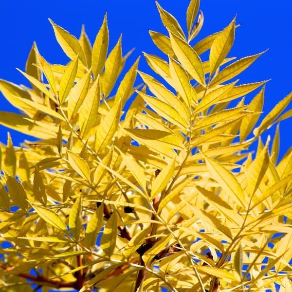 листа на ясен през есента