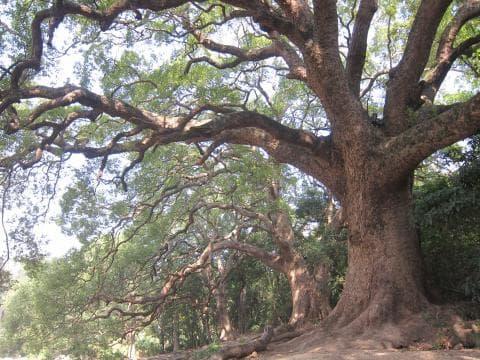 стъбло на камфорово дърво
