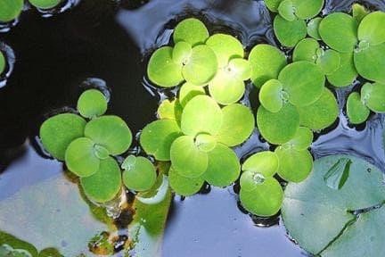 водна леща листа