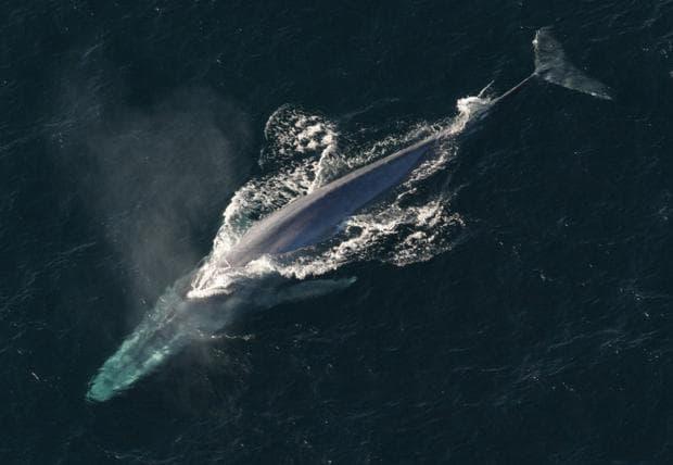 син кит