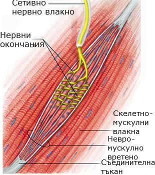 Невро-мускулно влакно