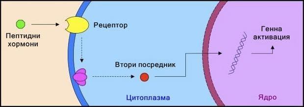 Механизъм на действие на пептидните хормони