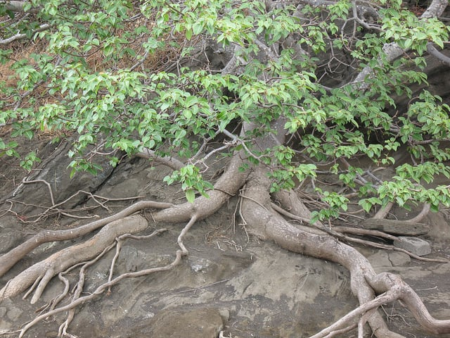 дърво на смъртта