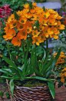 оранжев орнитогалум