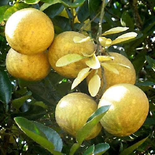 плод бенгалска дюля