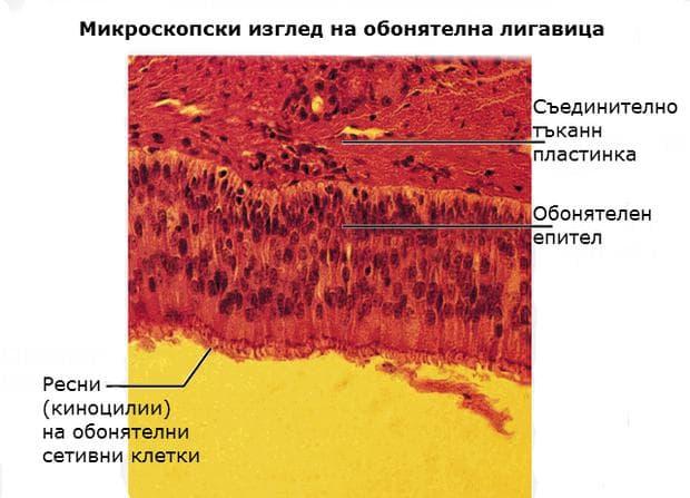 Микроскопски изглед на обонятелен епител