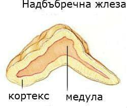 Надбъбречна жлеза - анатомия