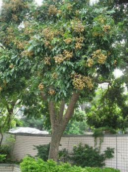 дърво на лонган