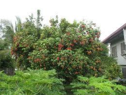 дърво рамбутан