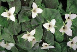 трилиум пендулум растение