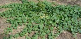африканска краставица цяло растение