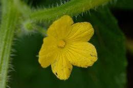 женски цвят на африканска краставица