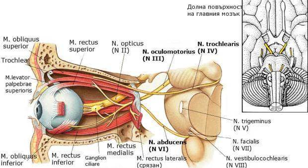 Инервация на очедвигателните мускули