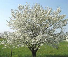 дърво череша