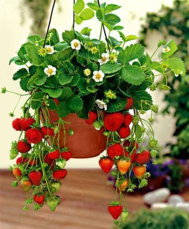 ягоди в саксия