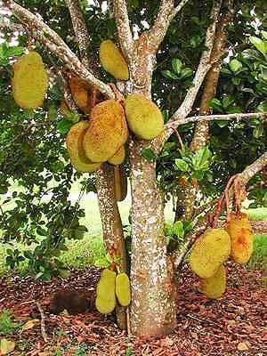 дърво с плодове джакфрут