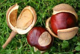 ядки на червен конски кестен
