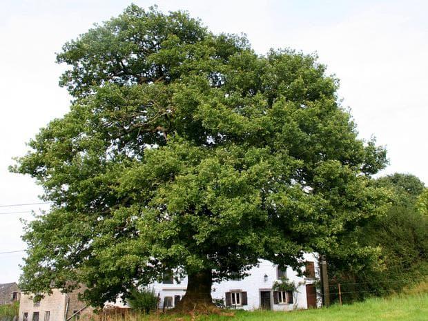 Дъб обикновен, Летен дъб (Quercus robur, Oak) | Ботаника