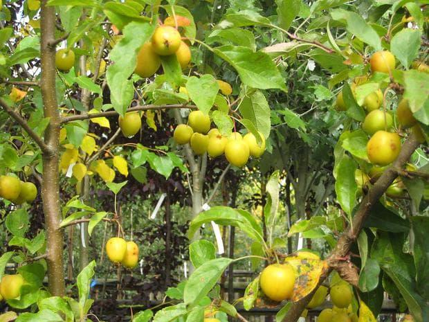 плодове на киселица