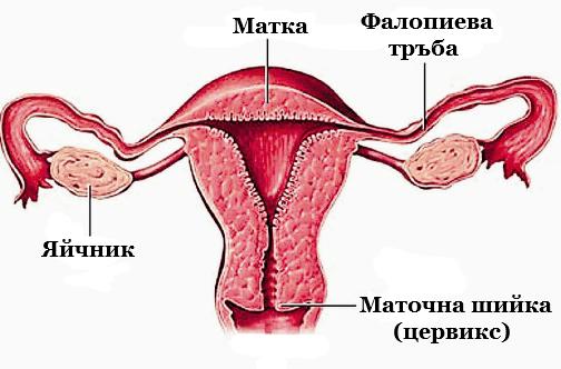 Женска полова система
