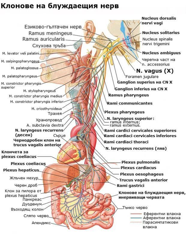 Клонове на блуждаещия нерв