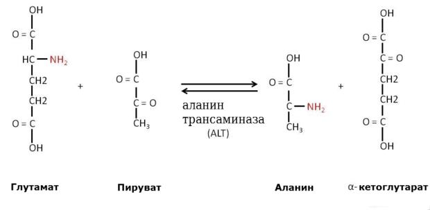 Аминотрансфераза