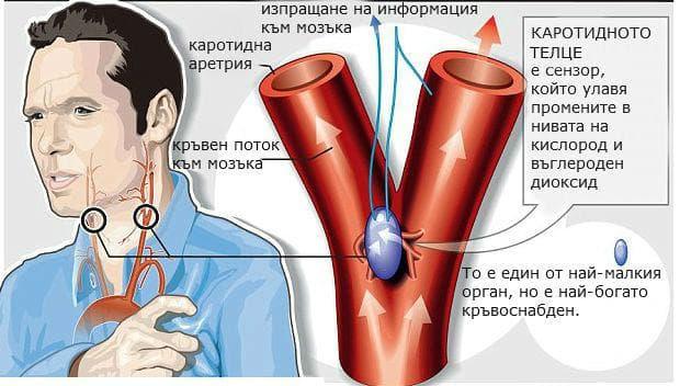 функционално значение на каротидното телце