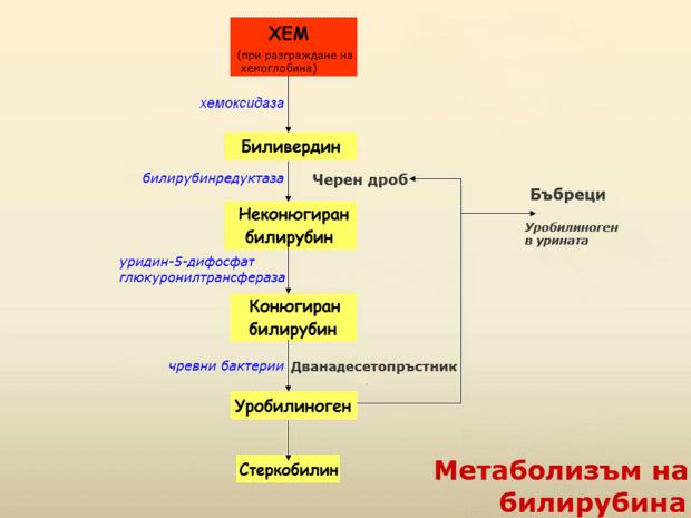 Метаболизъм на билирубина