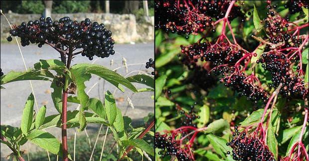 бъзак и черен бъз плодове