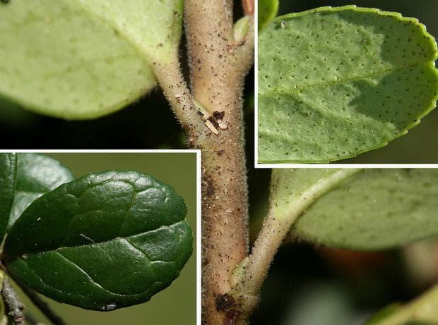 Лист червена боровинка