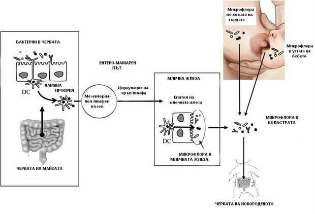 Как достигат бактериите в кърмата
