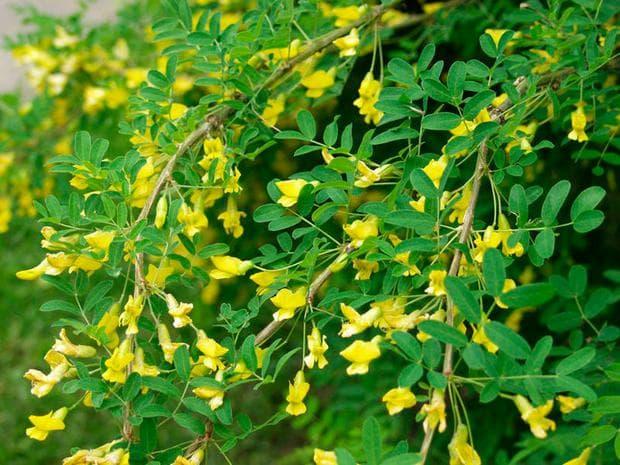 цветове на жълта акация