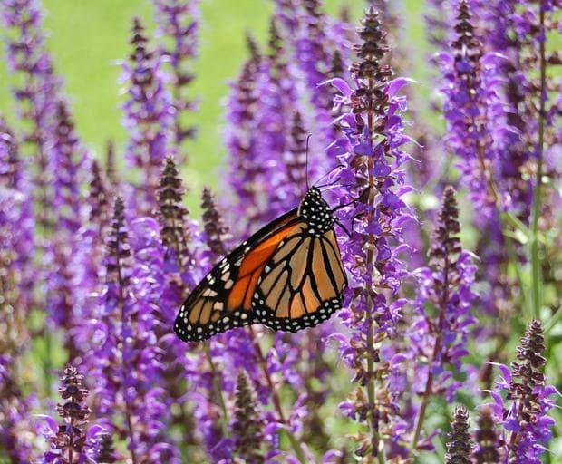 Салвията е магнит за пеперудите