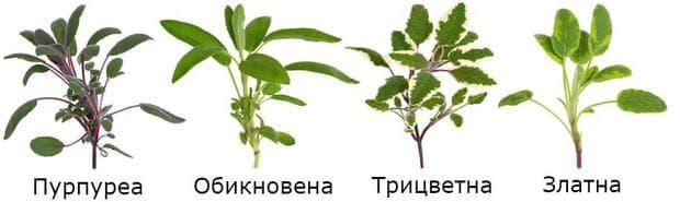 Различни сортове салвия