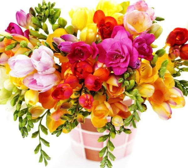 Фрезията притежава нежен и изтънчен аромат