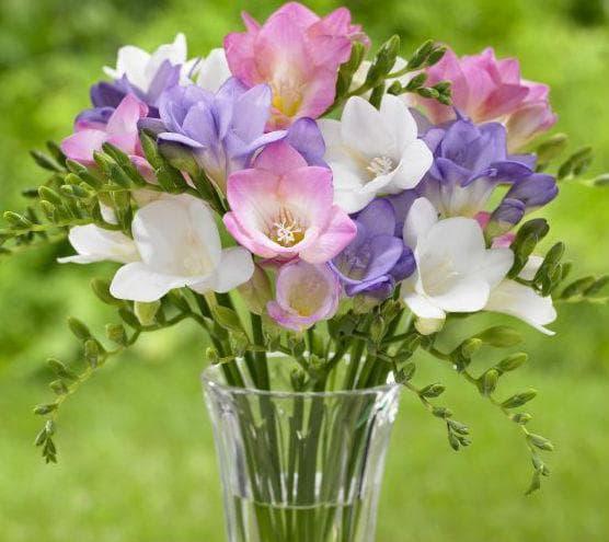 Фрезиите са изключително трайни цветя