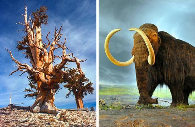 Мамут и дърво