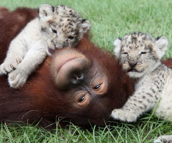 Орангутан и тигърчета