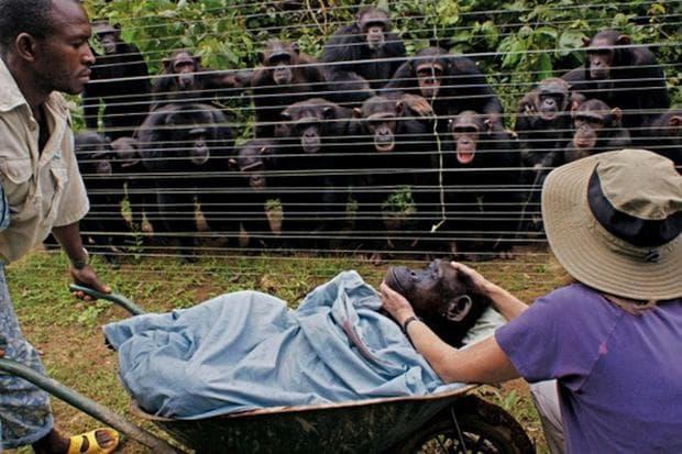 Шимпанзета