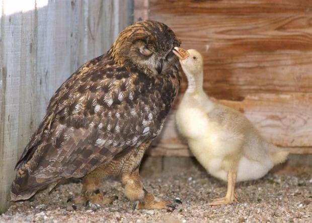 Бухал и гъска