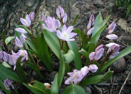 Chionodoxa albescens