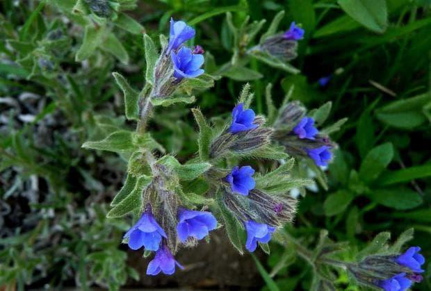 растение айважива