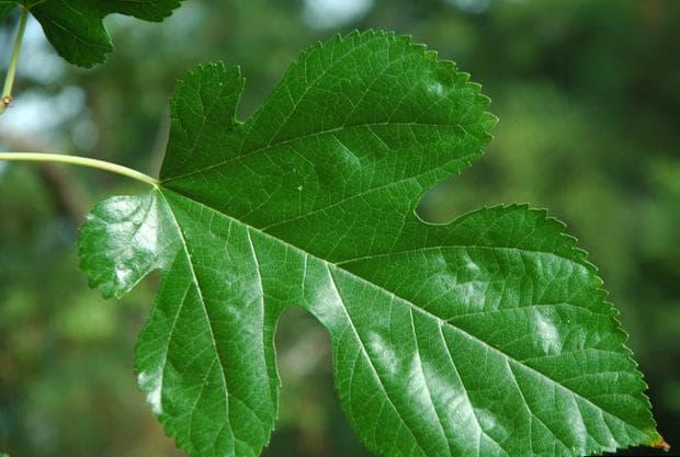 листо на бяла черница